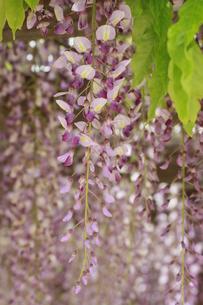 藤の花の写真素材 [FYI00131277]