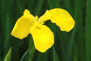 黄色の菖蒲の写真素材 [FYI00131281]