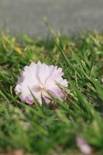 芝上の一輪の写真素材 [FYI00131287]