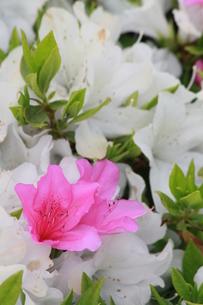 ピンクの花の写真素材 [FYI00131291]