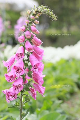 ピンクの花の写真素材 [FYI00131294]