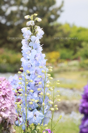 水色の花の写真素材 [FYI00131304]