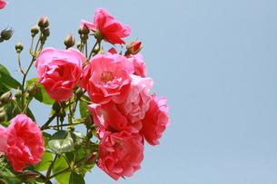 青空の下のバラの写真素材 [FYI00131309]