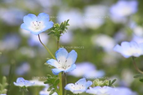 水色の花の写真素材 [FYI00131314]