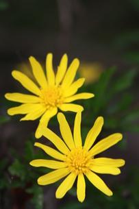 黄色の花の写真素材 [FYI00131315]
