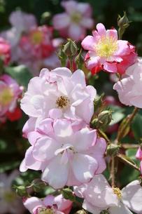 ピンクのバラの写真素材 [FYI00131322]