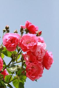 青空の下のバラの写真素材 [FYI00131325]