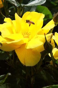 バラとハチの写真素材 [FYI00131332]