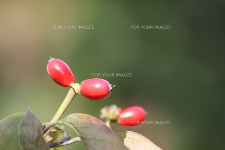 赤い実の写真素材 [FYI00131339]