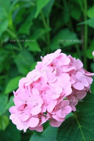 ピンクのアジサイの写真素材 [FYI00131340]