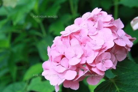 ピンクのアジサイの写真素材 [FYI00131349]