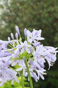 薄紫のアガパンサスの写真素材 [FYI00131351]