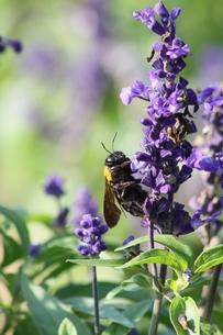 クマ蜂と紫の花の写真素材 [FYI00131352]