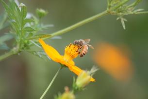 働き蜂の写真素材 [FYI00131354]