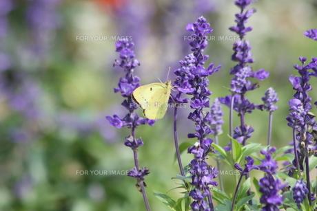 蜜を吸う蝶の写真素材 [FYI00131359]
