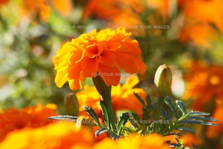 オレンジ色のマリーゴールドの写真素材 [FYI00131369]