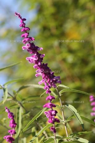 紫のトリカラーセージの写真素材 [FYI00131373]