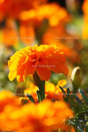 オレンジ色のマリーゴールドの写真素材 [FYI00131376]