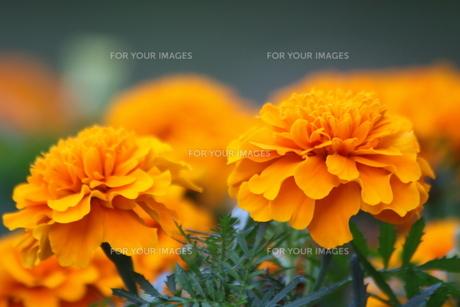 オレンジ色のマリーゴールドの写真素材 [FYI00131380]