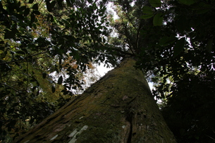 静かな杉の木の素材 [FYI00131387]