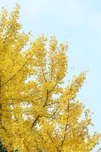 秋空の下のイチョウの木の写真素材 [FYI00131388]