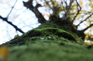 イチョウの木を覆うコケの写真素材 [FYI00131390]