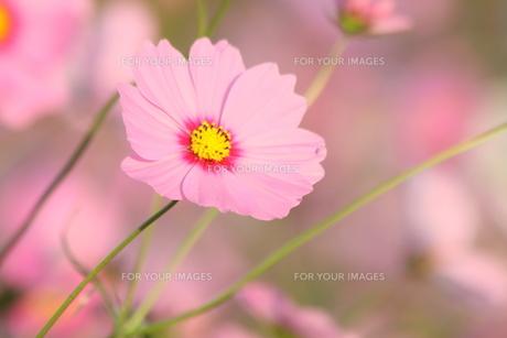 ピンクのコスモスの写真素材 [FYI00131391]