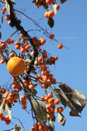 秋空の下の柿の写真素材 [FYI00131395]