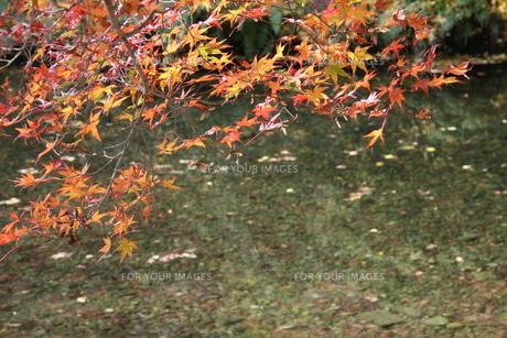 水辺の紅葉の写真素材 [FYI00131399]
