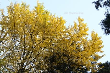 イチョウの木の写真素材 [FYI00131401]