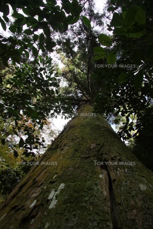 静かな杉の木の写真素材 [FYI00131404]
