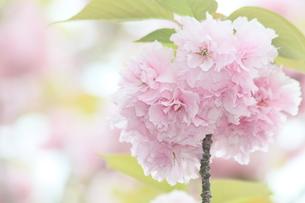 八重桜の写真素材 [FYI00131408]