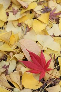 赤い葉の写真素材 [FYI00131411]