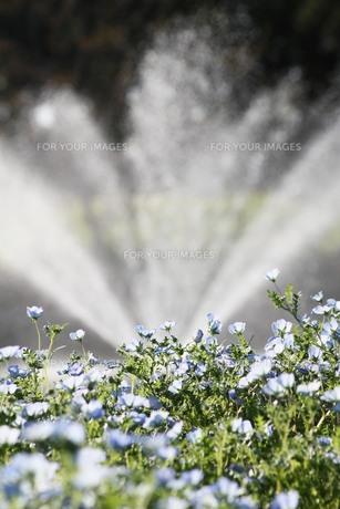 水色の花と噴水の写真素材 [FYI00131413]