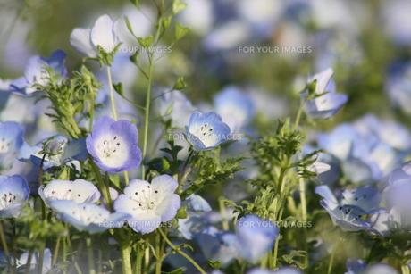 水色の花の写真素材 [FYI00131421]