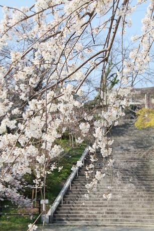 しだれ桜の写真素材 [FYI00131422]
