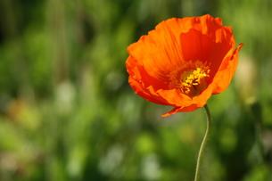 オレンジ色の花の写真素材 [FYI00131427]