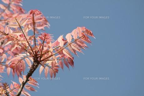 ピンクの葉の写真素材 [FYI00131429]