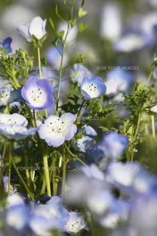 水色の花の写真素材 [FYI00131437]