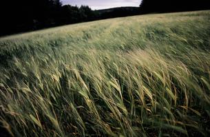 麦畑1の素材 [FYI00131444]