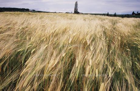 麦畑2の素材 [FYI00131466]