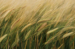 麦畑3の素材 [FYI00131477]