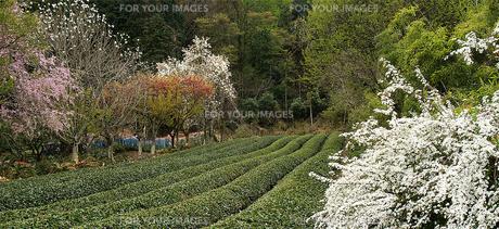 茶畑の春(1)の素材 [FYI00131483]