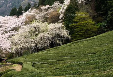 茶畑の春(5)の素材 [FYI00131491]