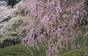 春の風景の素材 [FYI00131493]