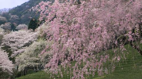 桜と茶畑(2)の素材 [FYI00131501]