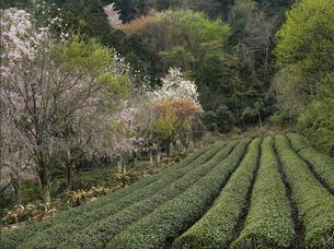 茶畑の春(4)の素材 [FYI00131506]