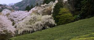 茶畑の春(3)の素材 [FYI00131507]