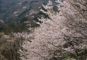 桜のある風景(5)の素材 [FYI00131513]