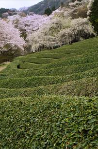 茶畑の春(2)の素材 [FYI00131514]